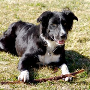Vicarsline | Border Collie Lillie