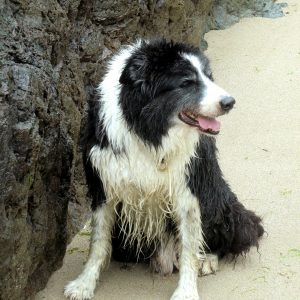 Vicarsline | Border Collie Benny