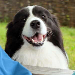 Vicarsline | Border Collie Henry
